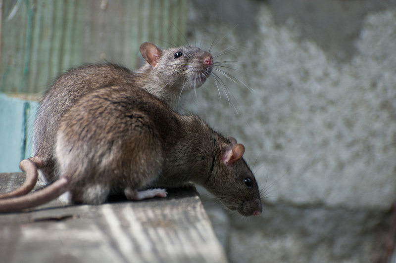 <center><b>Крысы заставляют пенсионера ночевать в теплице</center></b>