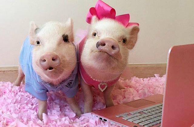 <center><b>Американские свинки прославились</center></b>