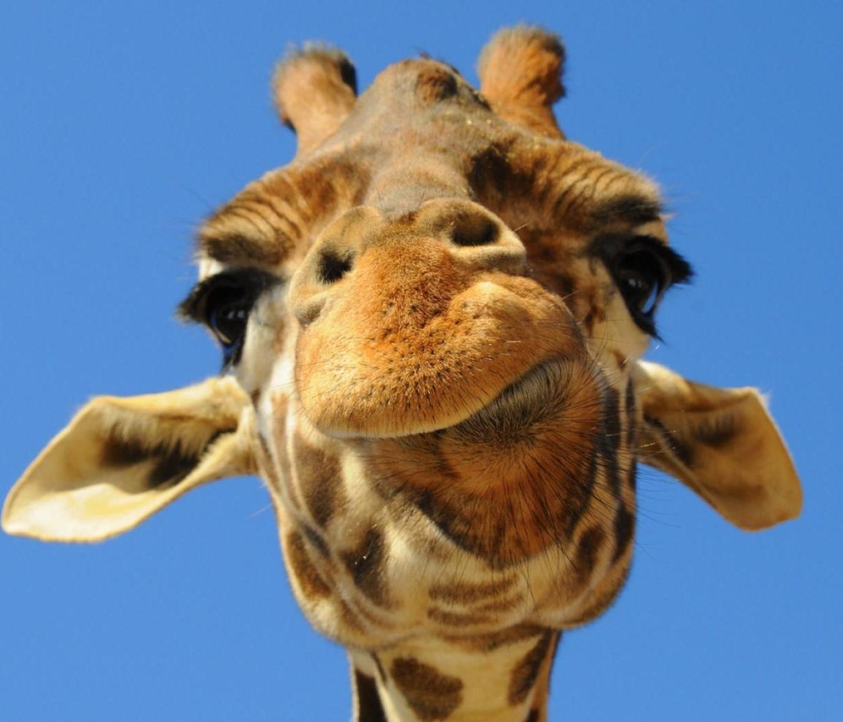 Игривый жираф приставал к журналистке (видео)