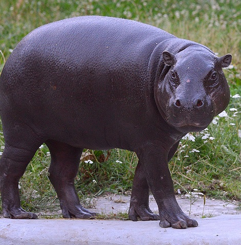 В московском зоопарке появился бегемот