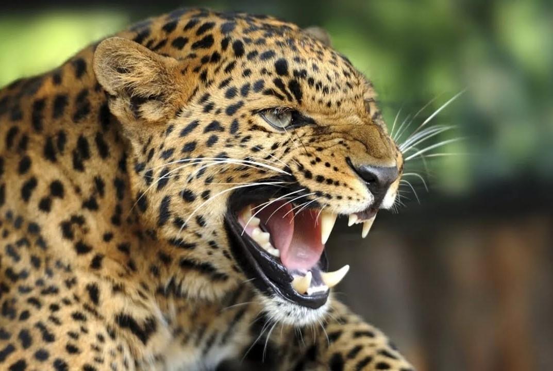 Леопард Валера собрал друзей на пирушку (видео)