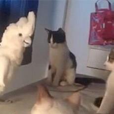 <center><b>Мяукающий попугай испугал котов (видео)</center></b>