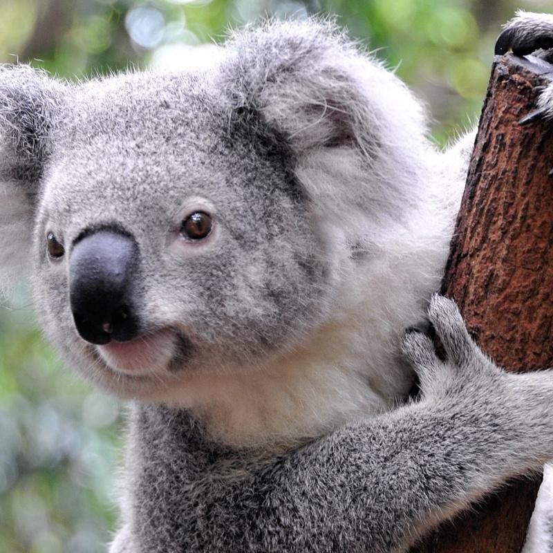 <center><b>В Австралии коала создала пробку</center></b>