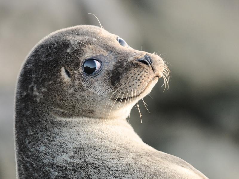 <center><b>Заблудившегося тюленя вернули в море</center></b>