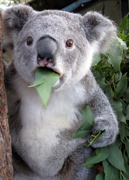 <center><b>Наглый коала оккупировал диван</center></b>