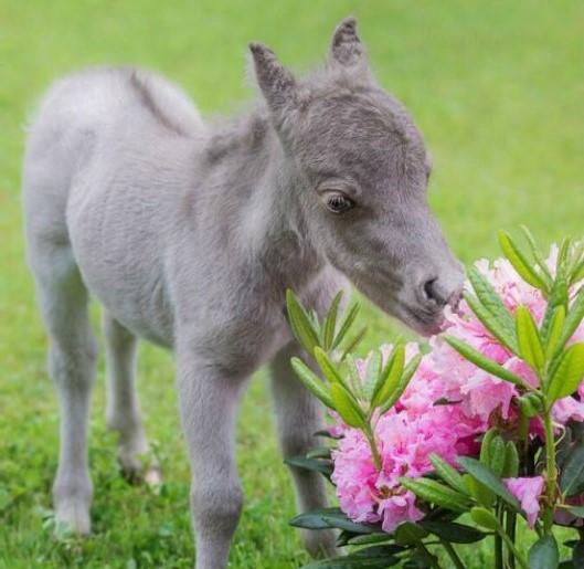 Самый маленький в мире конь (фото)