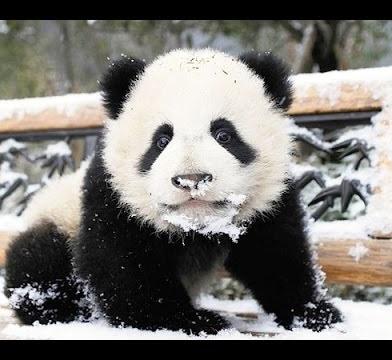 Канадские панды вероломно напали на снеговика