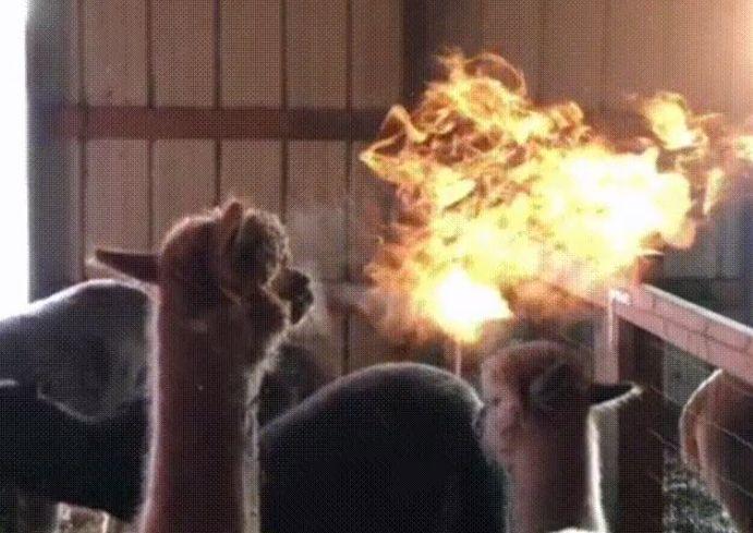 Огнедышащая альпака попала на видео