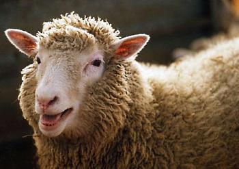 <center><b>В Британии сохранили анонимность овец</center></b>