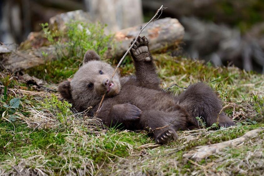Японский медведь спутал поликлинику с берлогой