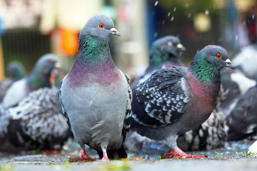В Перми решили пересчитать голубей