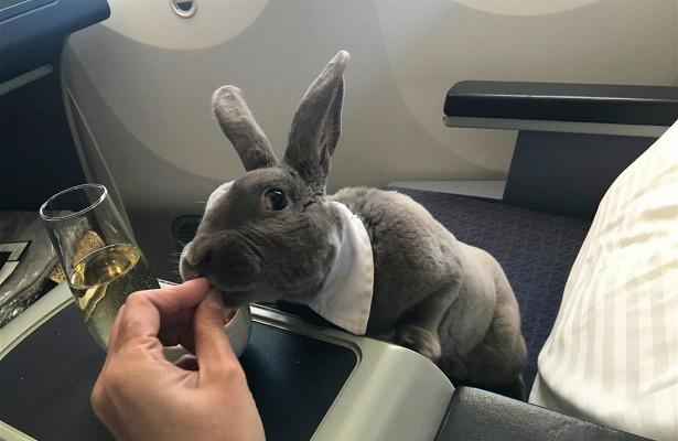 Кролик отправился из США в Японию бизнес-классом