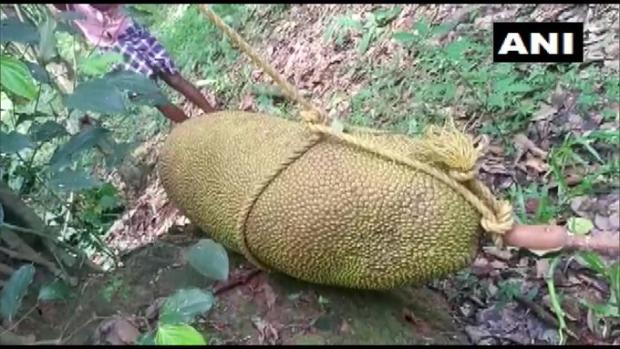 Гигантский плод из Индии достоин Книги рекордов Гиннеса