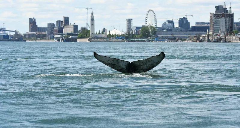 В канадскую речку заплыл огромный кит