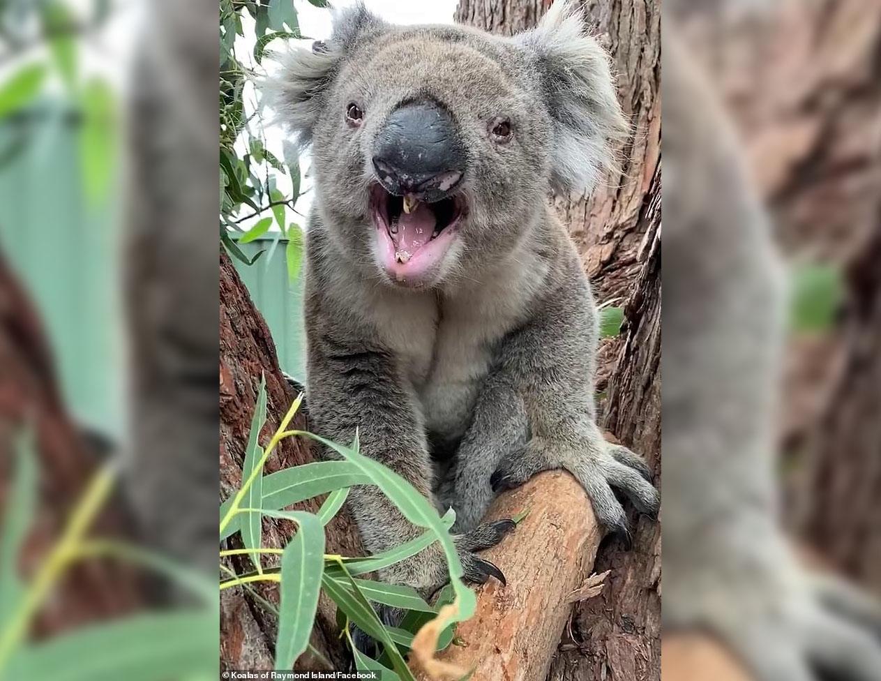 В Австралии скандал: коале не понравился новый сосед