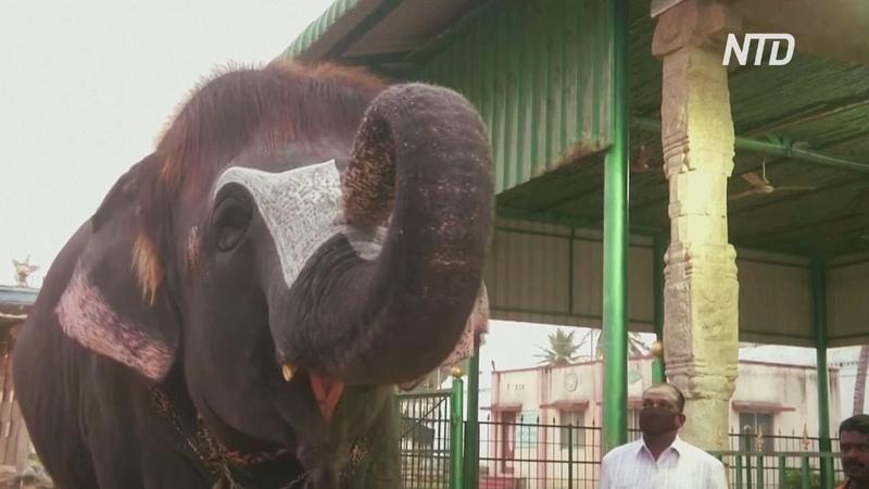 Индийская слониха стала звездой интернета