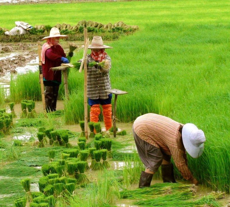 <center><b> Тайские фермеры гоняют на плугах</center></b>