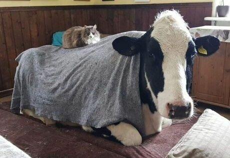 Шведский суд постановил, что у коров должны быть друзья