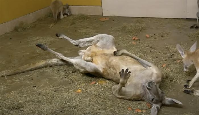 Рижский кенгуру переполошил латвийцев, показав сумку