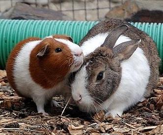 <center><b>Кролик в Австралии притворился морской свинкой</center></b>