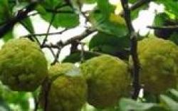 <center><b>В Китае изобрели уродливые апельсины</center></b>